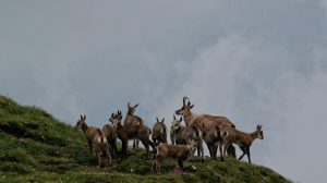 Mountain Goats or Chamois in the Carpathians